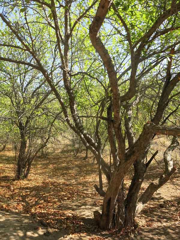 Kok Bulak apple grove