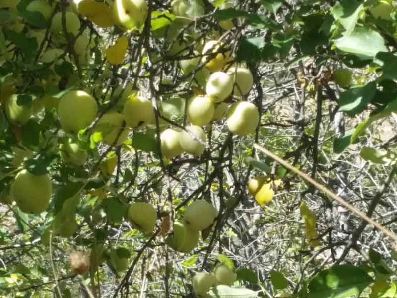 Wild apple tree - the Golden Delicious's great grandmother?
