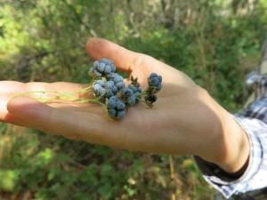 Black raspberries (Rubus caesius)