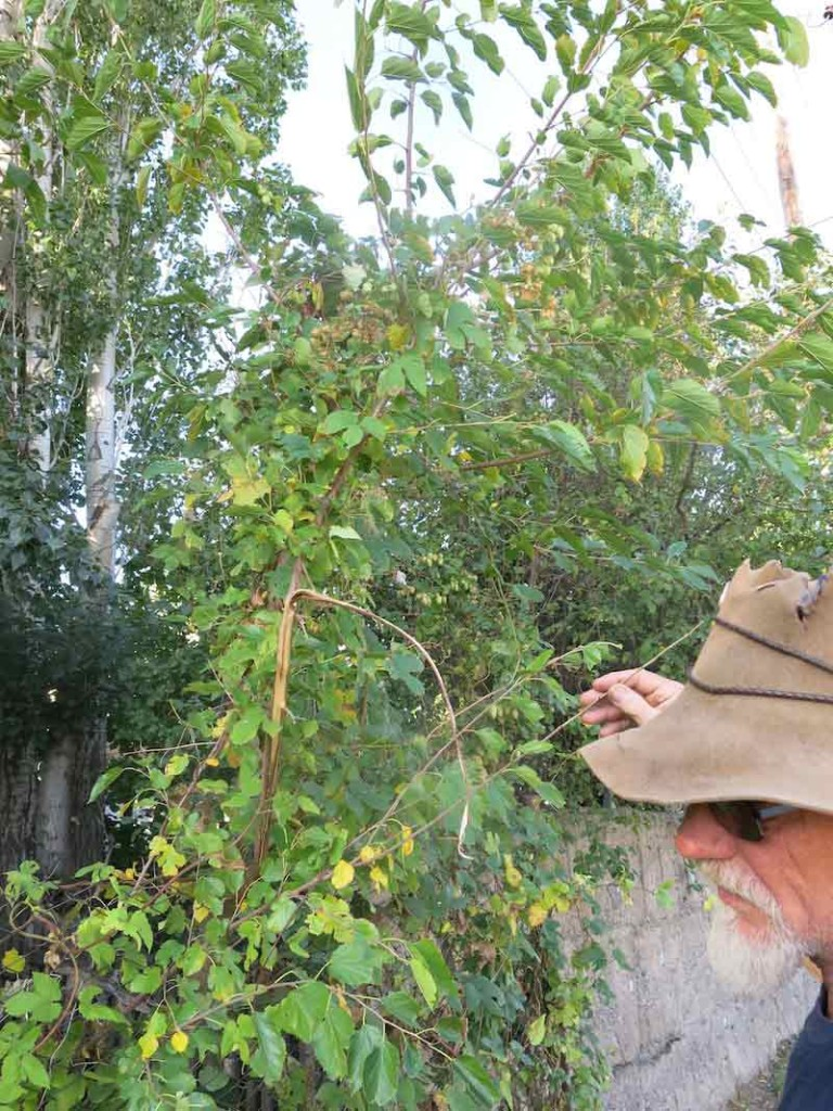 Mark checks out a hops vine growing through an apple tree next to the road in the village