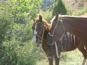 Horses tethered to apple trees during a break
