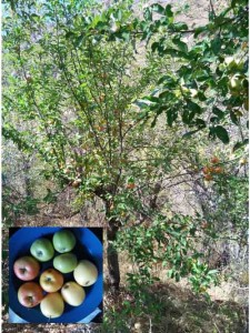 Apple trees with fruit samples