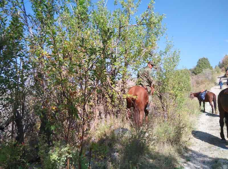 Picking track-side apples from horseback